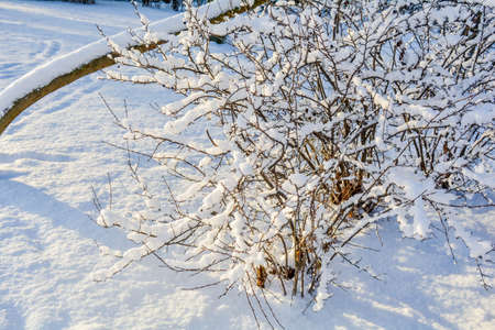 Snow covered bush branches. Fluffy snow on tree branches. Branches of bushes in the snow in winter day