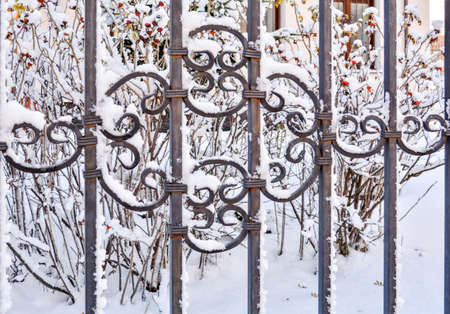 Closeup view of frozen cold iron fence with snow cover on background of snowy rosehip bushes with red ripe berries. Snow covered decorative iron lattice