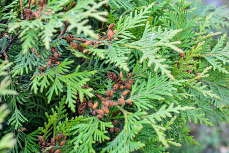 Close up of cypress cedar tree branch with bunch of brown cones. Thuja occidentalis bush is evergreen coniferous tree. Macro of cypress branch with cones. Conifer seeds of cedar selective focus