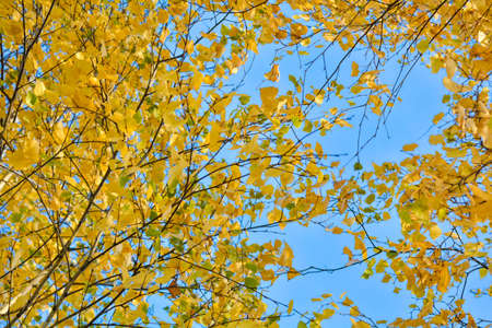 Autumn background with yellow leaves are birch tree on vibrant blue sky. Branches of birch tree with gold foliage in fall