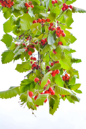 Ripe bright red hawthorn berry on branches with green leaves. Concept useful medicinal plant of Crataegus monogyna with mature berries