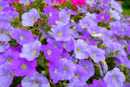 Flower bed with Petunia purple flowers. Colourful violet petunia flower. Close up of Petunia flowers bloom. Petunia blossom in summer garden