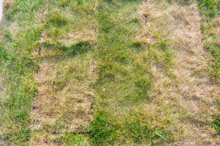 Lawn briquettes with dying grass. Texture of dying lawn with healthy green grass and dead dry grass 스톡 콘텐츠
