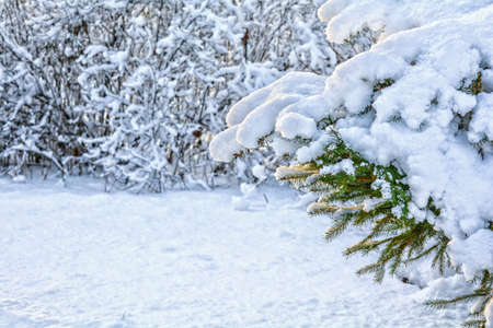 Snow covered spruce tree branch. Close-up photo of Fir-tree branch with snow. Winter and Christmas Background