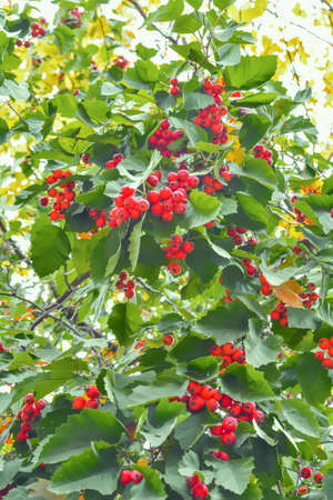 Ripe bright red hawthorn berry on branches with green leaves. Concept useful medicinal plant of Crataegus monogyna with mature berries Foto de archivo