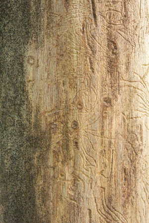 Trunk of dead tree without bark with traces of beetles. Rough natural wooden surface with lines. Wood texture for background.