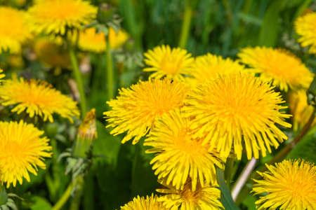 Yellow dandelion or Taraxacum officinale flowers on meadow field. Medicinal wild herb Stock Photo