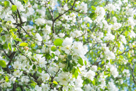 White flowers of apple tree. Beautiful blossoming apple tree branch in garden on summer day