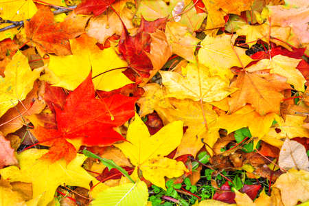 Autumn multicolored maple leaves lie on green grass. Autumn mood school time concept