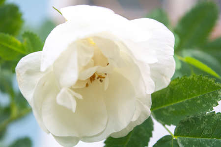 Closeup of white Dogrose or Briar flower with soft focus. Blossom rose hips - delicately flavored Eurasian wild rose is magic symbol of Venus and love 免版税图像