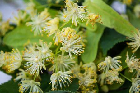 Yellow flowers of linden tree, fragrant medicine herbal and healthcare tea ingredient