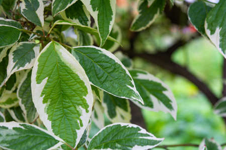 Cornus Alba foliage with watercolor green and white leaves. Decorative garden plant called red barked, white silver or Siberian dogwood