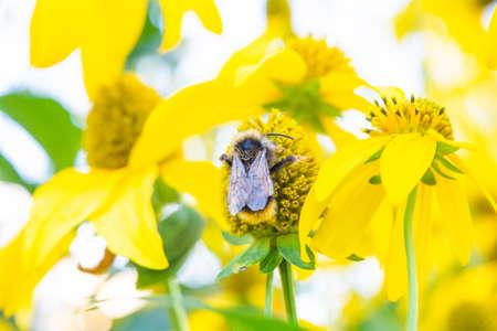 Beautiful yellow flower of Jerusalem Artichoke with bumblebee. Root Jerusalem Artichoke - source of inulin, is used as medicinal herb to treat illness Standard-Bild