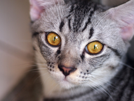 short haired: Close up muzzle of American Short Haired cat with big eyes, selective focus