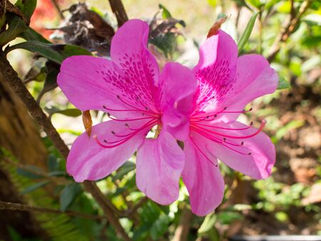 Close up of blooming of pink hibiscus flower.