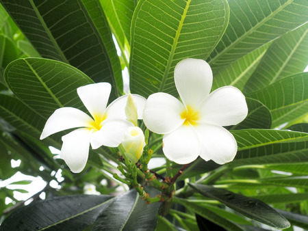 White plumeria flowers, plumeria flowers are most fragrant at night. Standard-Bild