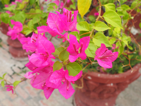 Pink bougainvillea in the vase.
