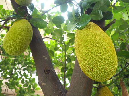 Green jackfruit, young jackfruit on the three.