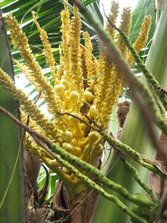Coconut flower, green young coconut. Фото со стока