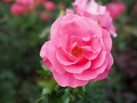 Blurred background of pink rose, pink rose background.