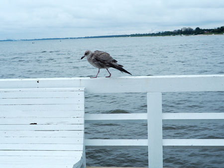 Seagull standing on the white pier at Sopot, Gdansk. Abstract freedom concept background.