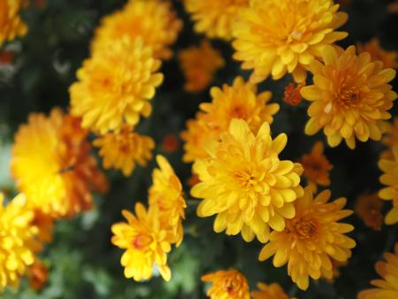 흐리게 하 고 아름 다운 밝은 꽃 장식 배경 소프트 포커스.