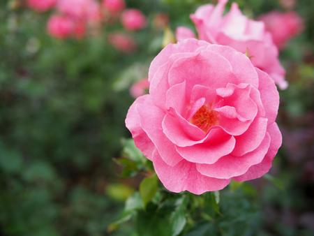 핑크 장미, 핑크 장미 배경 흐리게 배경.