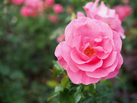 Blurred background of pink rose, pink rose background. Фото со стока - 89514338