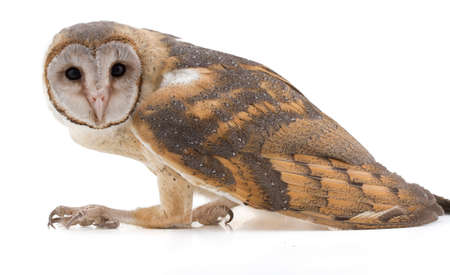 indian barn owl isolated on white background