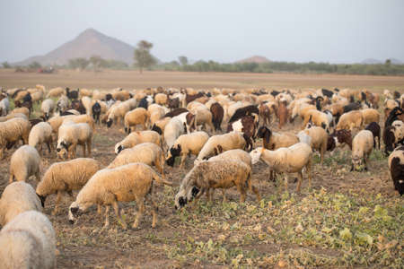 flock of sheeps in field for eating grass Stock Photo