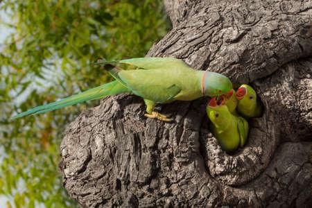 Indiańska papuga daje jedzeniu Zdjęcie Seryjne