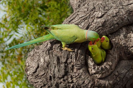 Indian parrot giving food