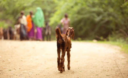 umbrela: little Garasiya community girl in stable with flock of goat Stock Photo