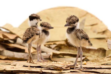Red wattled lapwing kids. Typical indian bird