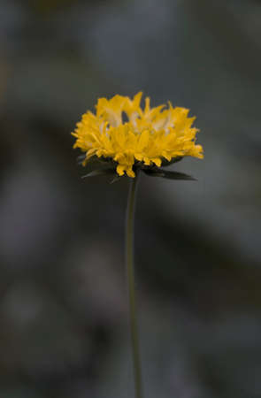 pot marigold: Calendula. Marigold flowers with leaves on there plant