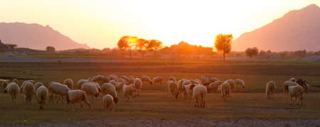 Group of goat herding under beautiful sunset