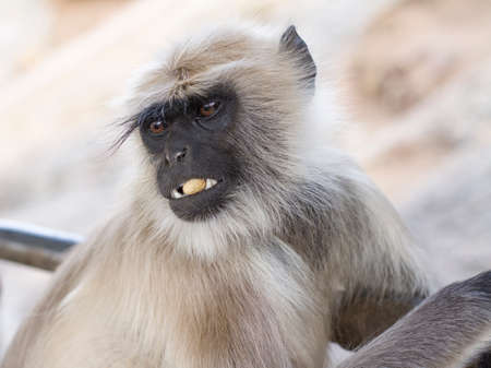 Black faced monkey, Bandar or langur Mostly To be found in western Rajasthan state of india, Bandar is real name of monkey in india Stock Photo