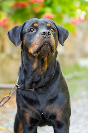 Real breed rottweiler dog