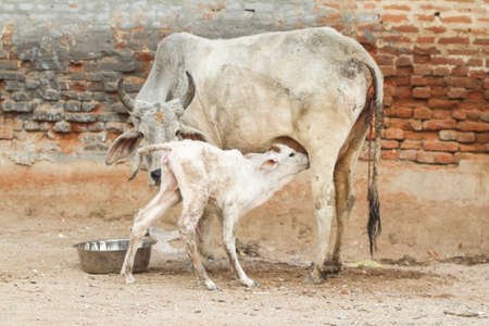 indian cow suckling to her newborn calf