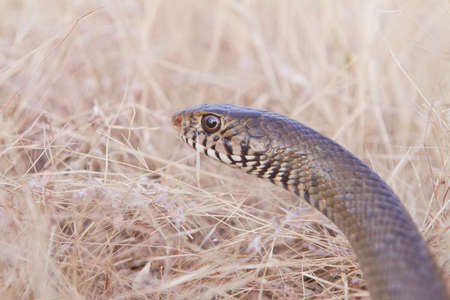 Eastern Brown Snake in national park of india