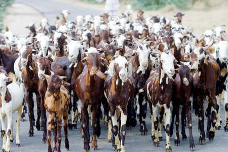 herd of goats, seen from below Stock Photo
