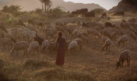 Rural view of indian girl herding goats for meal 写真素材