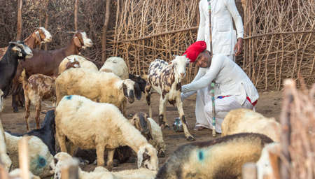 Rajasthani tribal man wears traditional colorful casual and Taking the goat's milk