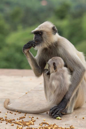 Closeup Monkey sitting on a wall at rameshwar temple Rajasthan India Foto de archivo - 128323533