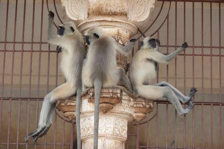 Closeup Monkey sitting on a wall at rameshwar temple Rajasthan India