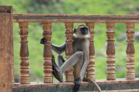 Closeup Monkey sitting on a wall at rameshwar temple Rajasthan India 写真素材