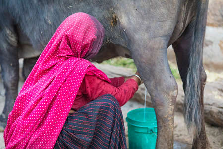 A Woman villager milking the buffalo