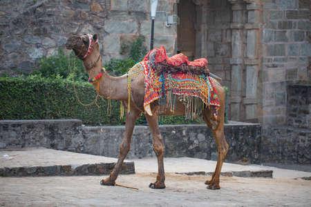 Rajasthani Colorful Dressing Camel In Kumbhalgard Fort 版權商用圖片 - 135115483