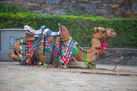 Rajasthani Colorful Dressing Camel In Kumbhalgard Fort 版權商用圖片 - 135115537