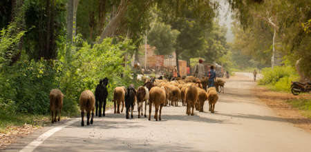 An Indian shepherd with a herd of sheep on rural road Banque d'images
